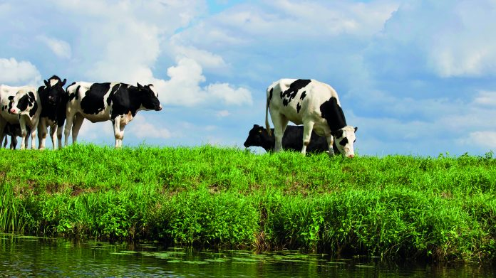 Animal black and white cows blue skies